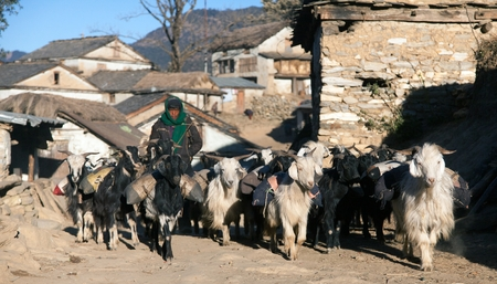 indigene: WESTERN NEPAL, CIRCA DECEMBER 2013 - caravan of goats go with goods from Simikot Area, Nepal