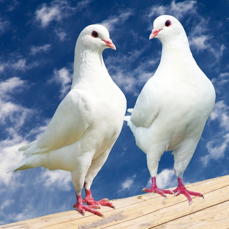 doublet: Two white pigeon - imperial-pigeon - ducula