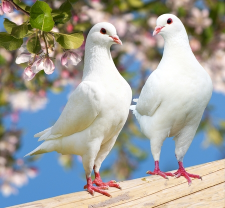 turtle dove: Two white pigeon on flowering - imperial pigeon - ducula