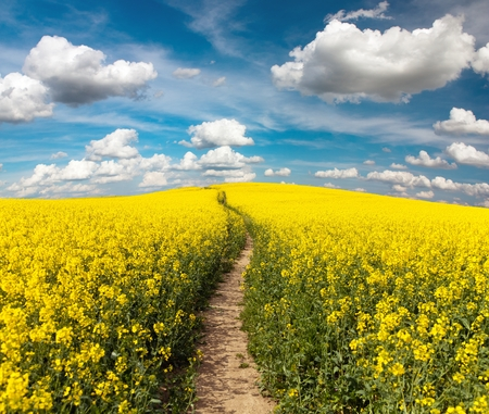 napus: Field of rapeseed with rural road and beautiful cloud (brassica napus) - plant for green energy and green industry
