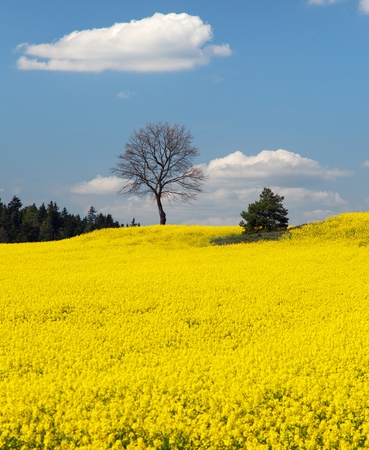 napus: field of rapeseed plant for green energy - panoramic view