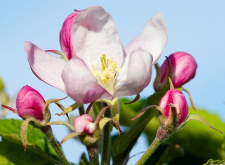crab apple tree: flower of apple tree