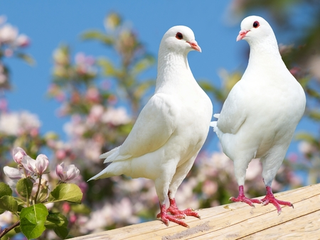 bird feathers: Two white pigeon on flowering background - imperial pigeon - ducula
