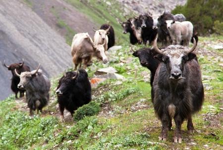 bos: Group of Yaks - bos grunniens or bos mutus - in Langtang valley - Nepal