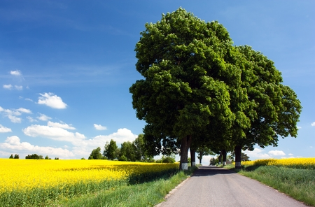 field of rapeseed with road and alley of lime tree photo