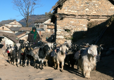 WESTERN NEPAL, CIRCA DECEMBER 2013 - caravan of goats go with goods from Simikot Area, Nepal