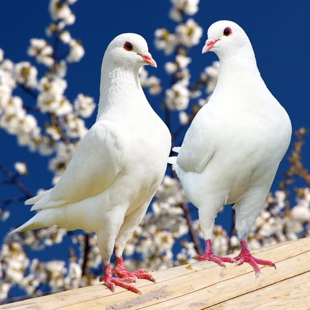 Two white pigeon on flowering background - imperial pigeon - ducula photo