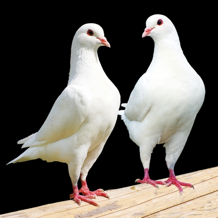 Two white pigeon isolated on black background photo