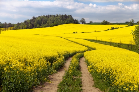 Field of rapeseed (brassica napus) - plant for green energy and green industry photo