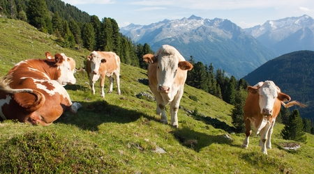 group of cows (bos primigenius taurus) in alps on pasture photo