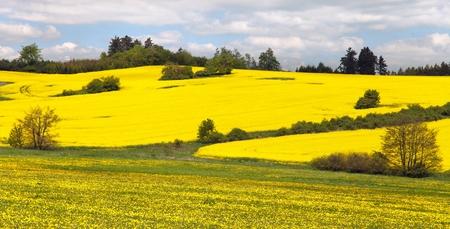 rapeseed: Rapeseed field and meadow