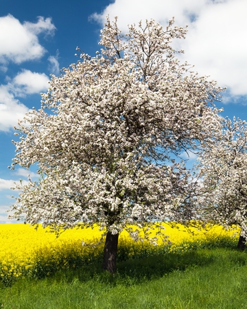 flowering apple tree with field of rapeseed photo