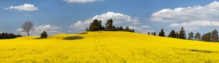 coleseed: field of rapeseed plant for green energy - panoramic view