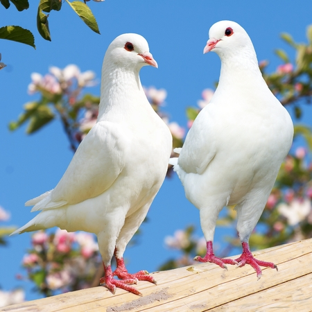 pigeon: Two white pigeon on flowering background - imperial pigeon - ducula