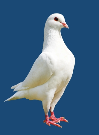 White pigeon isolated on blue background - imperial-pigeon - ducula