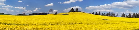 rappi: field of rapeseed plant for green energy - panoramic view
