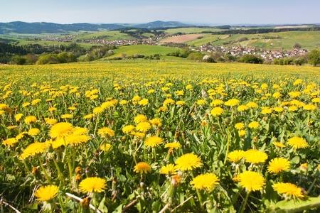 grassfield: spring time and meadow with common dandelion (taraxacum) - Carpathian mountains - Horni Lidec village, Moravia, Czech Republic