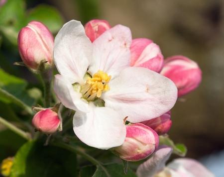 crab apple tree: view of flowering flower of apple tree