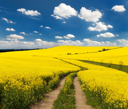 Field of rapeseed with rural road and beautiful cloud (brassica napus) - plant for green energy and green industry photo