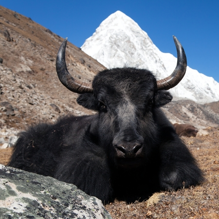 ri: Yaks on the way to Everest base camp and mount Pumo ri - Nepal