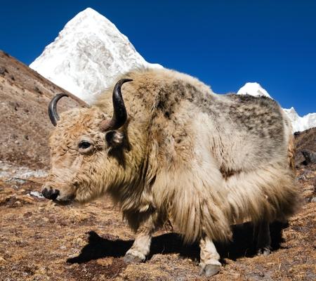 pastureland: Yak on the way to Everest base camp and mount Pumo ri - Nepal