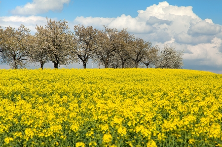 rapaseed: field of rapeseed with beautiful cloud - plant for green energy