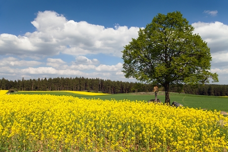 coleseed: way between rapeseed field and lime tree with crucifix