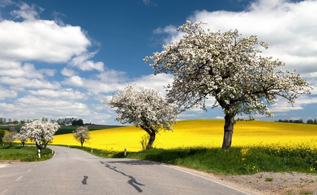 spring view of road with alley of apple tree and rapeseed field photo