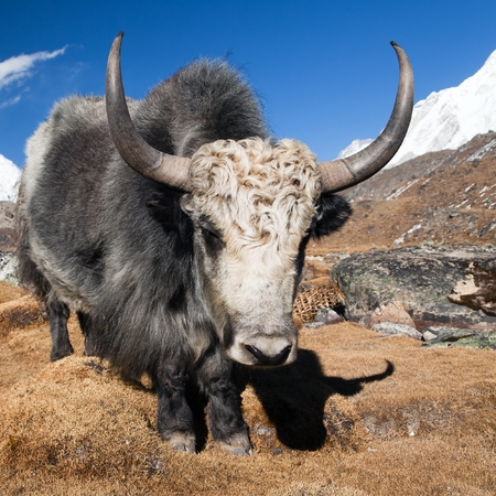 pastureland: Yak on the way to Everest base camp and mount Pumo ri - Nepal