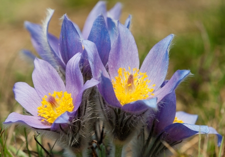 pasqueflower: detail of flowering flower of pasqueflower on the meadow