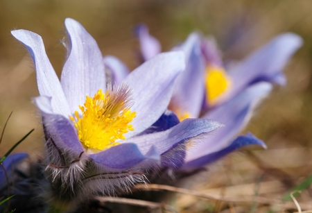spring tide: detail of flowering flower of pasqueflower on the meadow
