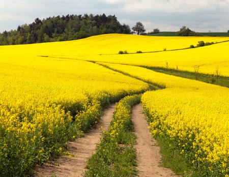 napus: Field of rapeseed (brassica napus) - plant for green energy and green industry Stock Photo