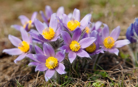 pasqueflower: view of beautiful flowering flower of pasqueflower