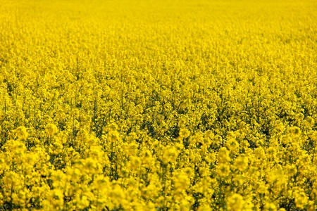 rapaseed: field of rapeseed - plant for green energy Stock Photo