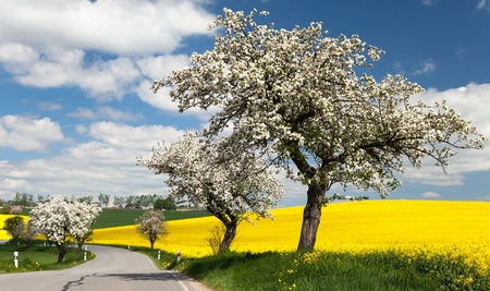 springy: spring view of road with alley of apple tree and rapeseed field Stock Photo