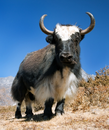 bos: Black and white Yak - bos grunniens or bos mutus on the way to Everest base camp and mount Pumo ri - Nepal Stock Photo