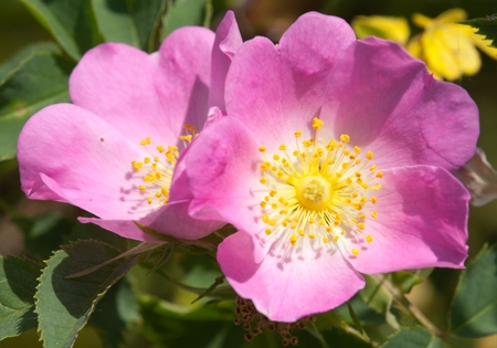 briar bush: Beautiful pink and yellow flower of dog-rose