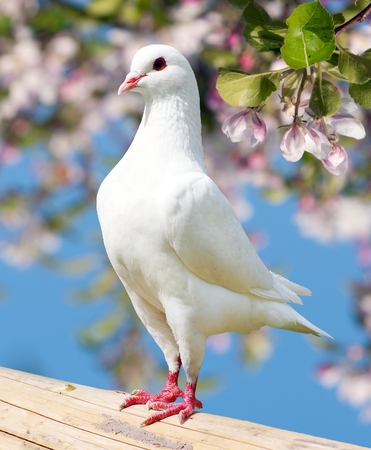 pecker: one white pigeon on flowering - imperial pigeon - ducula Stock Photo