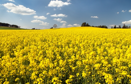 coleseed: view of flowering field of rapeseed - brassica napus - plant for green energy and oil industry