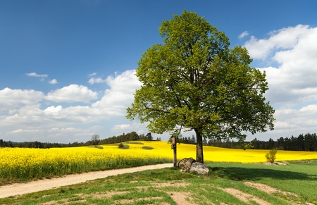 basswood: View of way between rapeseed field and lime tree with crucifix and beautiful clouds - brassica napus - plant for green energy and oil industry Stock Photo