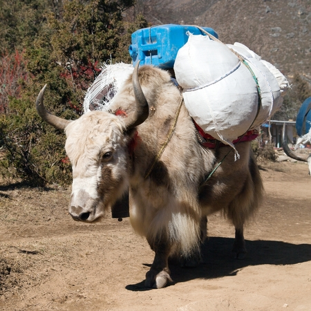 bos: White Yak - bos grunniens or bos mutus - on the way to Everest base camp and mount Pumo ri - Nepal Stock Photo