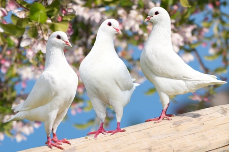 doublet: Three white pigeon on flowering background - imperial pigeon - ducula