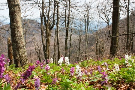 Springtime in flowering deciduous beech forest on mountain