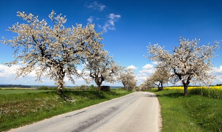 cherrytree: road and alley of flowering cherry-trees with beautiful sky