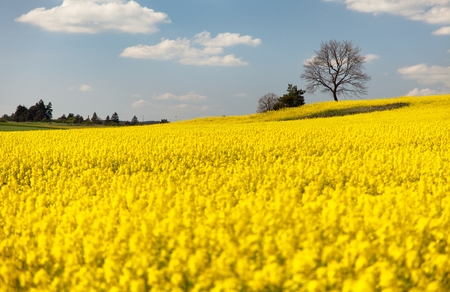 rapeseed: view of flowering field of rapeseed  brassica napus  plant for green energy and oil industry Stock Photo