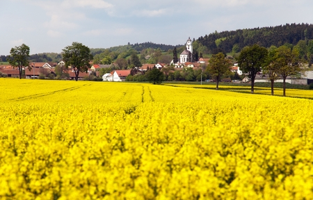 coleseed: golden field of rapeseed - plant for green energy and oil industry - Netin village, Czech Republic