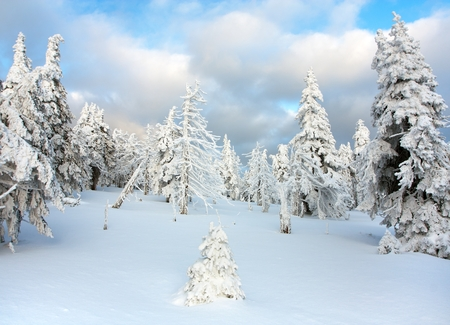 beautiful wintry view of snowy wood on mountains  Jeseniky mountains photo