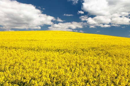 napus: field of rapeseed - brassica napus - plant for green energy