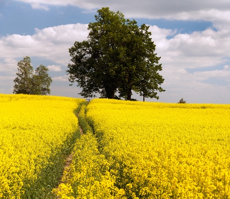 coleseed: Field of rapeseed  brassica napus  plant for green energy and green industry