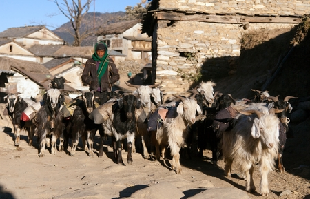 indigene: WESTERN NEPAL 15th DECEMBER 2014  caravan of goats go with goods from Simikot Area Nepal Editorial